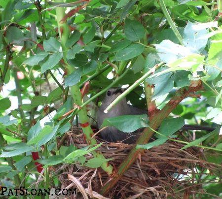 Pat sloan bird nest  in my rose bush