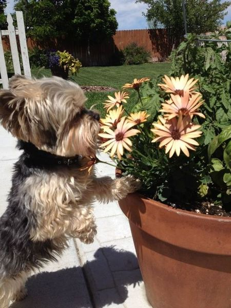 Murphy smelling the flowers