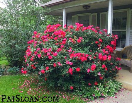 Pat sloan roses
