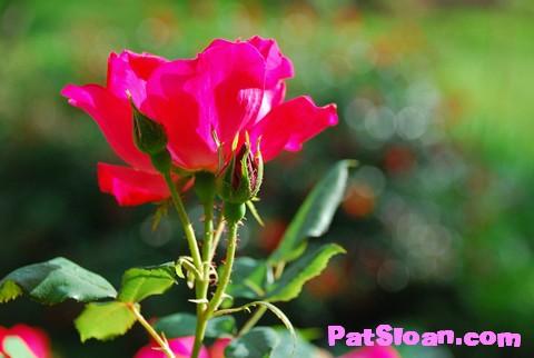 Pat sloan rose2