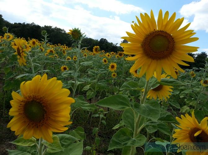 Pat Sloan Sunflower field