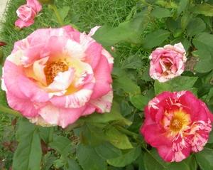 Roses 1 sm