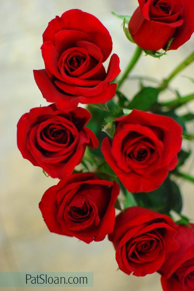 Pat Sloan roses2