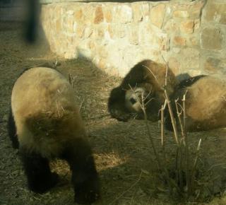 China panda 3